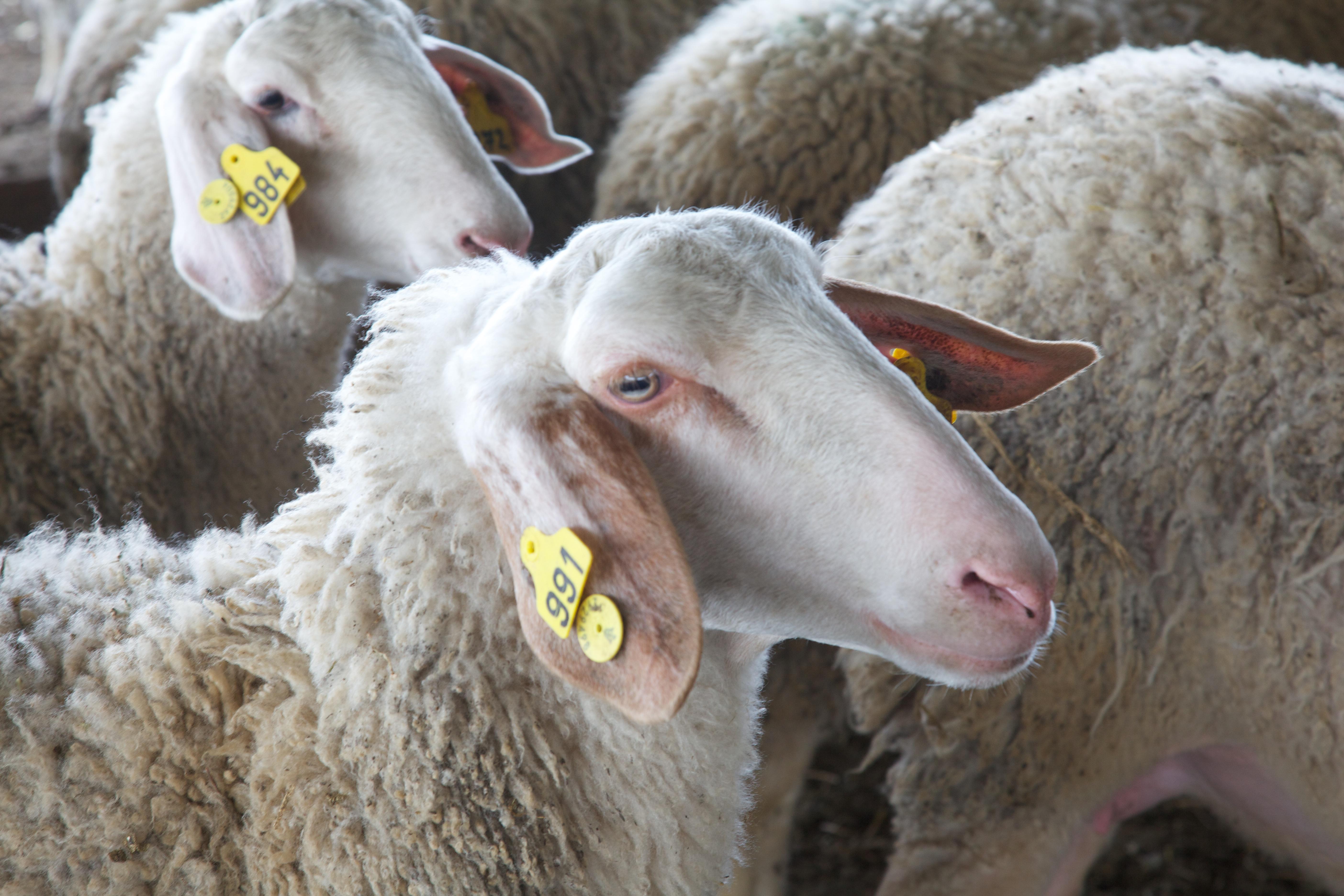 ייצור חלב כבשים בדירים בישראל – רב שנתי
