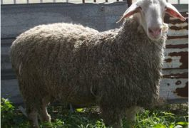 הכבשה