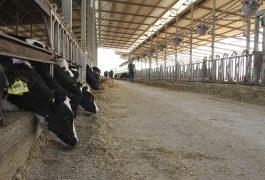 ייצור חלב בקר ברפתות בישראל – רב שנתי
